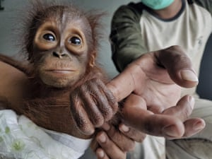 A recently rescued baby orangutan in Indonesia. An Indonesian conservation group says the discovery of two orphaned babies within two days is evidence that deforestation and illegal hunting are threatening the great apes.