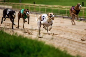 Greyhounds race by at the Sanford Orlando Kennel Club in Longwood, FL on Thursday, July 26, 2018. (