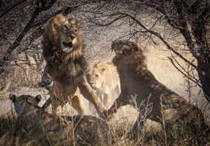 Evidence in a ZSL paper reveals a century of genetic diversity and subsequent decline in one of the last remaining strongholds of wild lions in Africa