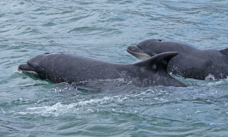 Bottlenose dolphins off the Yorkshire coast.