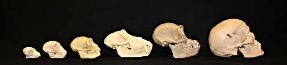 Left to right: skulls of an adult male lemur, vervet monkey, gibbon, baboon, chimpanzee, and human.
