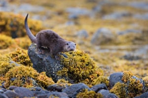 A European Otter, Lutra lutra, standing on a rock, looking at the photographer, on the seashore on the Isle of Mull, Scotland