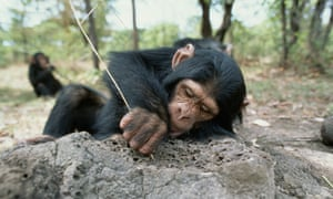 A chimpanzee uses a stick to catch food