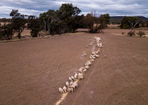 Sheep are given a feed of cotton seed on the Taylor family farm.