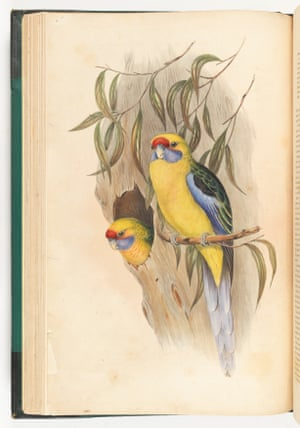 Yellow-bellied parakeets