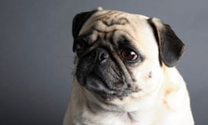 Vets Ask Prospective Dog Owners To Avoid Pugs And Other Flat Faced