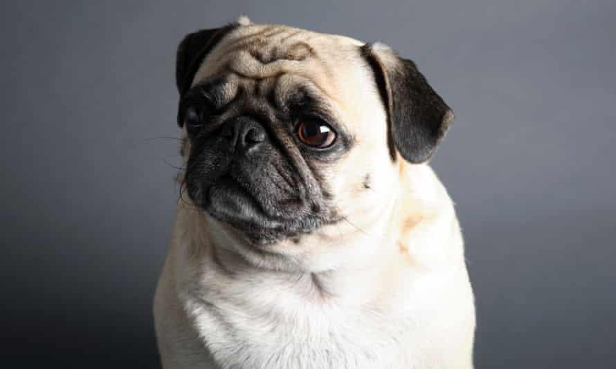 A plaintive-looking pug