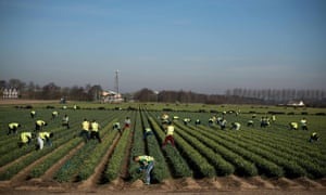 Migrant workers from Romania harvest daffodils on a farm near Holbeach in eastern England