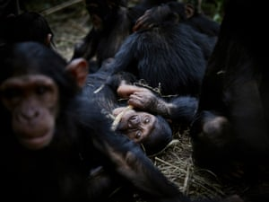 A group of orphaned baby chimpanzees at Lwiro Primate Centre