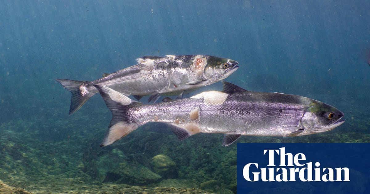 Salmon nearly boiled alive in Pacific north-west heatwave captured on video