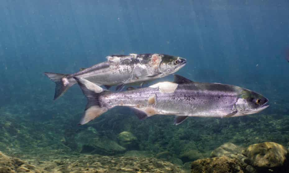 Red lesions and white fungus on the salmons' bodies are the result of high water temperatures and stress.