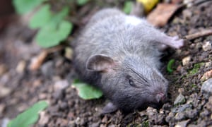 dead rat lying on ground in a garden in the UK