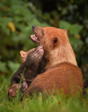 Bush dog pups are glimpsed venturing outdoors for the first time at Chester Zoo, England. The species, native to Central and South america, is listed as near threatened by the IUCN