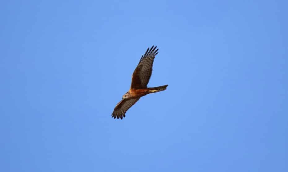 The rare red goshawk