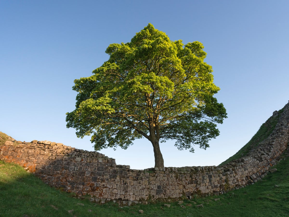 Poem Of The Week Sycamore Gap By Zoe Mitchell Books The Guardian A reading of the title: poem of the week sycamore gap by zoe