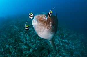 A sunfish being cleaned by pennant coralfish