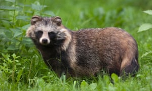 The raccoon dog: cute, wild and a terrible idea for a pet