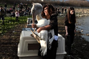 Kerkini, Greece. A woman holds a Dalmatian pelican during the release of endangered bird species for their reintegration into the natural environment at Lake Kerkini national park