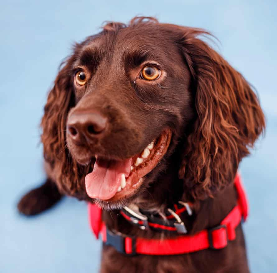 Cocker spaniel Bramble, one of the dogs being trained to detect the odour of Covid-19.