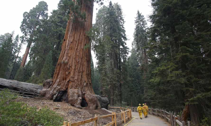 Firefighters walk near a giant sequoia in Kings Canyon national park in California.