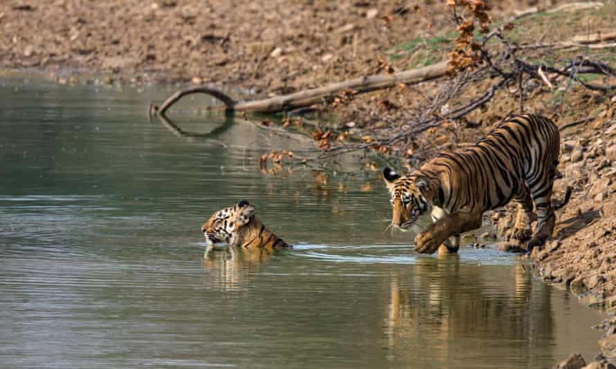 Tiger cubs take a dip in Tadoba Andhari tiger reserve, India