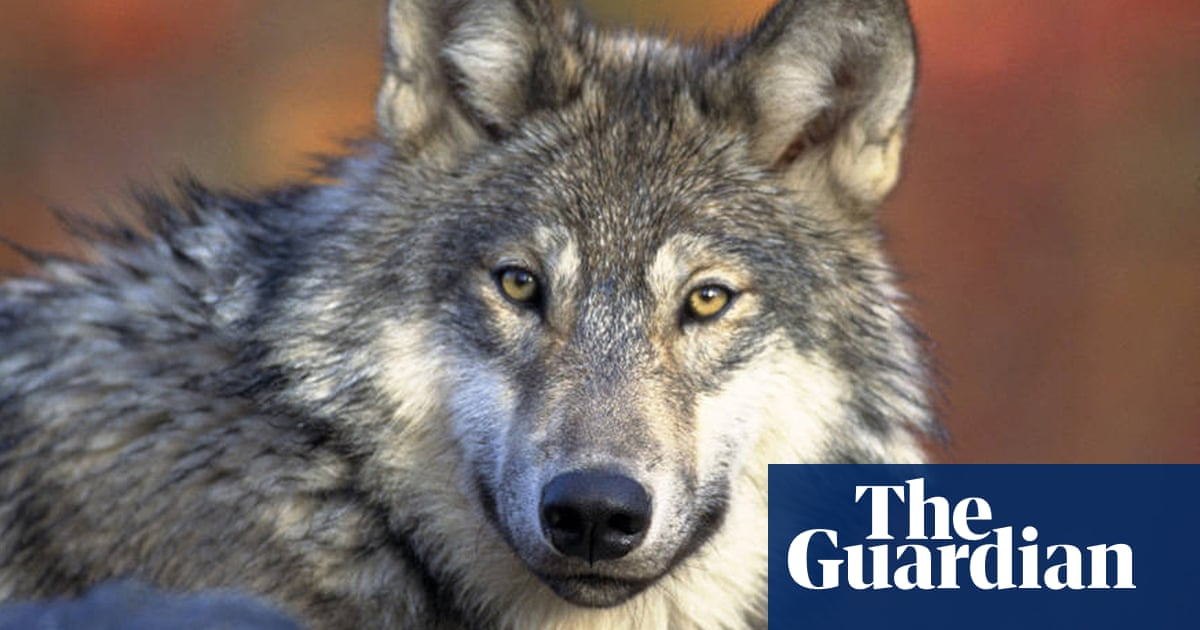 Wisconsin says hunters can kill 300 wolves this fall against biologists' advice