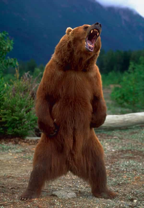 An Alaskan Brown Bear standing and growling