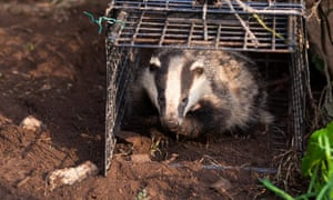 New research suggests badger culling could actually be making the problem of tuberculosis in cattle worse.