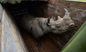 A black rhino ready to be moved to its new home in Kenya