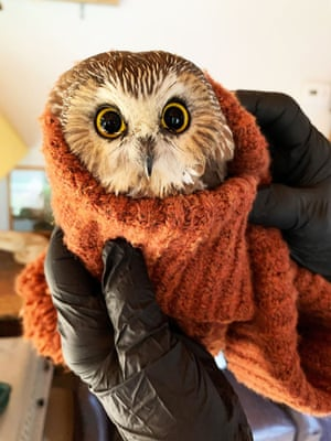 A tiny northern saw-whet owl, named Rockefeller,