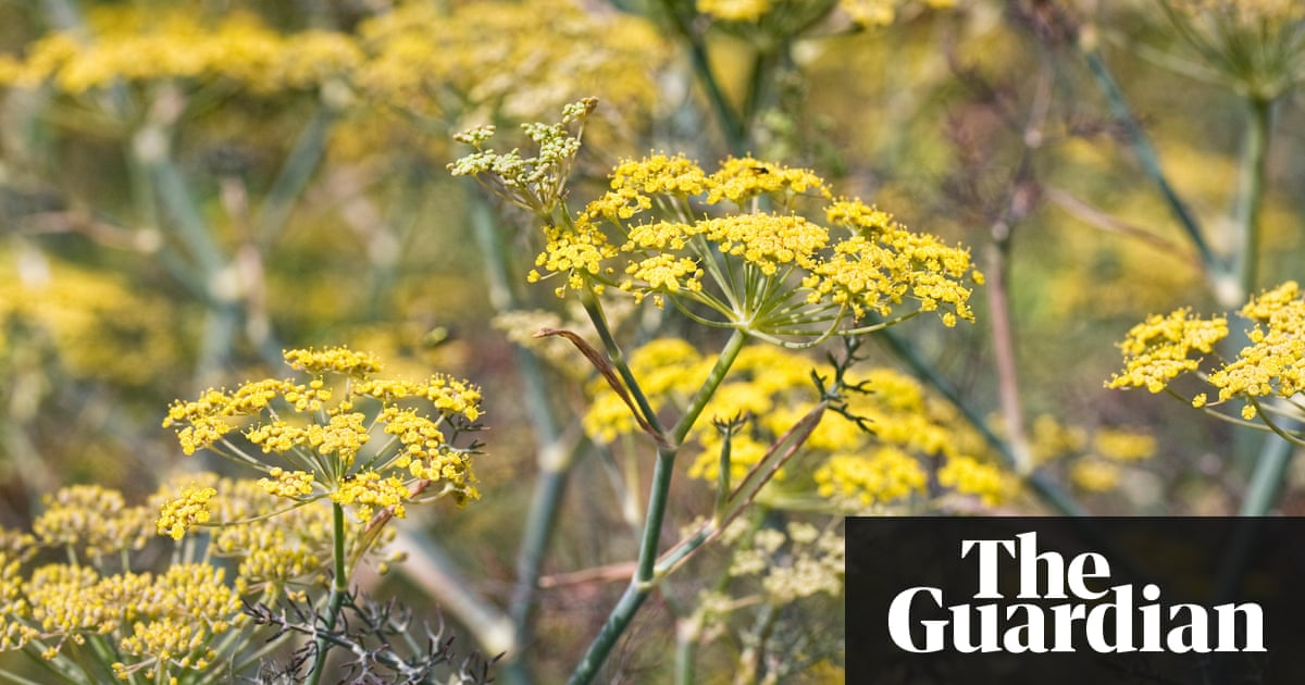 Plant Of The Week Bronze Fennel Life And Style The
