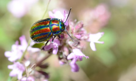 The rainbow leaf beetle is only found in one place in Britain.