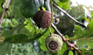 Stunted, black acorns forming on the tree