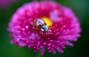 A ladybird rests on a daisy in Munich