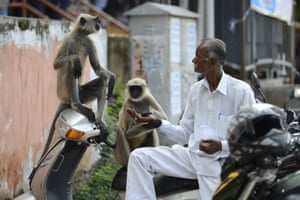 A man feeds peanuts to monkeys on a busy street in Ahmedabad, India