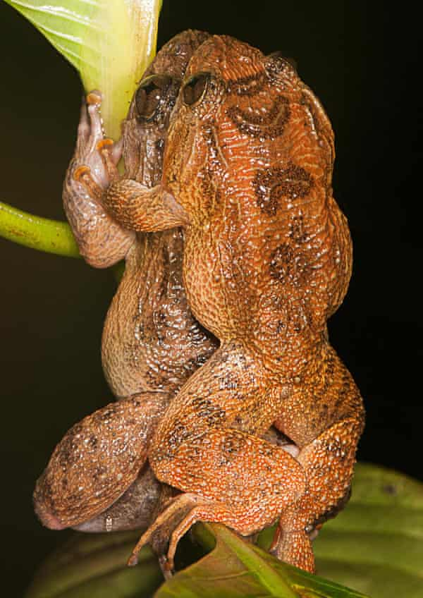 The Bombay Night frogs in Dorsal straddle: a new amplexus mode in frogs. Until Bombay night frogs fell under the spotlight, scientists had identified six mating positions among the world's 6,650 frog species.