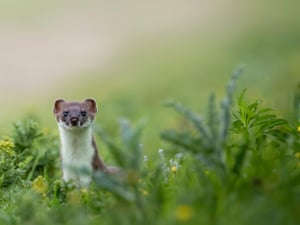 Stoat in foliage