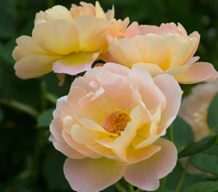 A peek inside the garden of the UK's top rose breeder | Jane