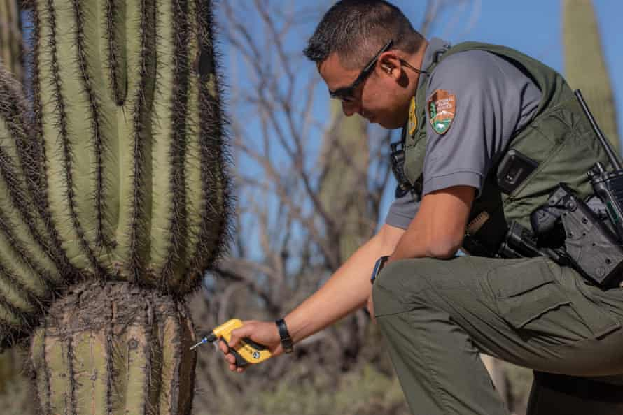 Samuel Arnberger was among the first rangers to insert the RFID chips into the saguaros when the program started.