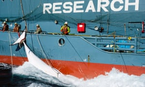 The Japanese whaling fleet's harpoon vessel Yushin Maru No. 2, with a minke whale in the Southern Ocean. Australian campaigners are launching a legal bid to prevent a new hunt this coming season.