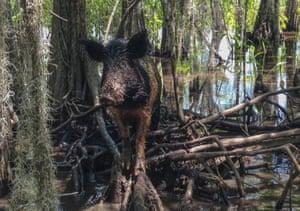 A wild boar walks in a swamp, in Slidell, Louisiana, US