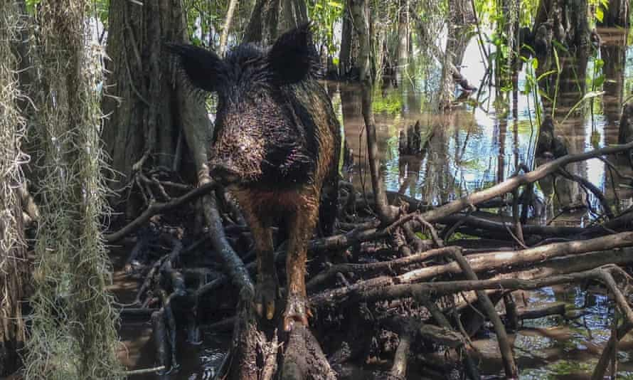 According to USDA officials, sightings of feral hogs along the US-Canadian border have increased in recent years.
