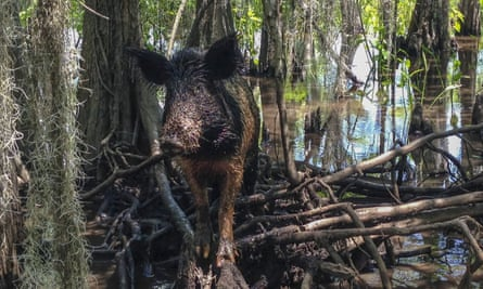 The issue of feral hogs in the US has been bubbling under the surface for some time.