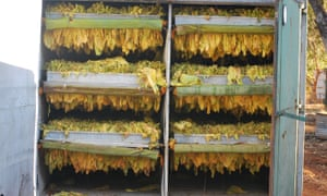 tobacco leaves drying in a shipping container