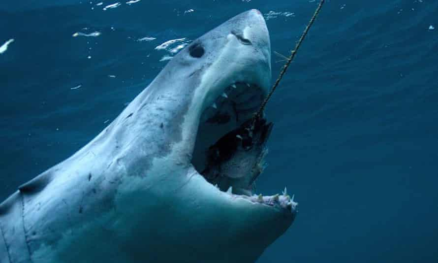 A Great White Shark featured in Discovery Channel's Shark Week