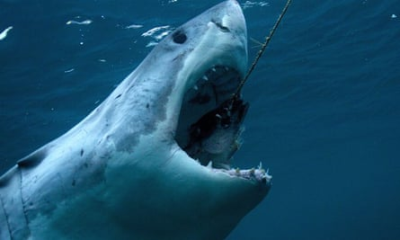 A great white shark, in a still from Discovery Channel's Shark Week.