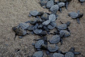 Baby sea turtles crawl to the sea following their release after treatment at the rescue centre