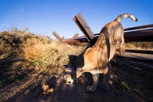 A mountain lion jumping the vehicle fence at San Bernardino.