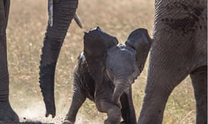 In 1979 there were 1.3 million elephants, there are now 400,000 left