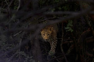 Indian leopard in Jhalana forest reserve in Jaipur